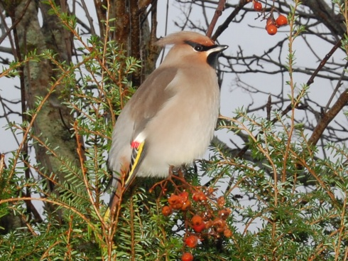 Mr Waxwing